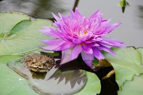 frog near a purple water lily on the water