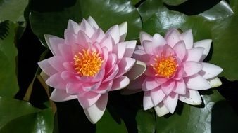 two water lily flowers