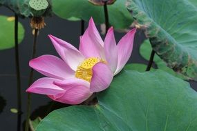 pale pink lotus on the water close-up