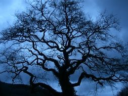 silhouette of a big tree in blue twilight