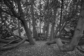 black and white picture of forest trees