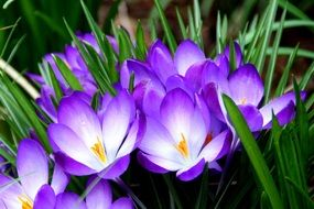 white-purple crocuses among green grass