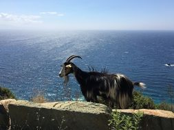 mountain goat on the island