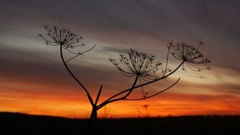 stalks of dill on a background of orange sunset
