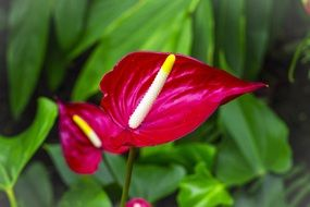 red Anthurium close up