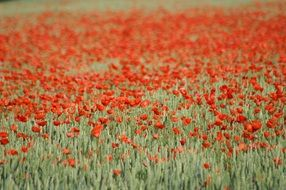 poppy flowers field in France