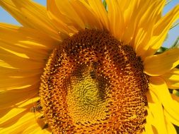 working bees on the sunflower