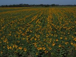 agricultural plantation of sunflowers