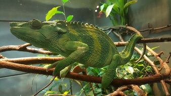 green chameleon on a tree branch