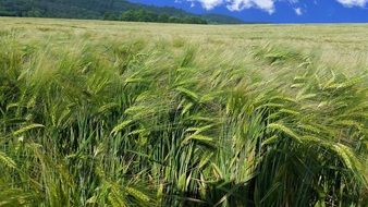 green wheat field Germany