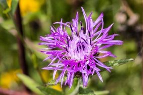 centaurea jacea, purple flower