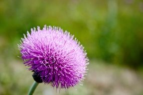 round purple thistle bud