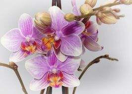 Phalaenopsis Purple Orchid macro photo