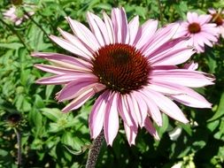 light pink Gerbera flower Close