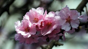 pink flowers of a peach tree close-up