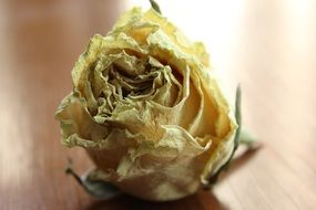 yellow rose like a herbarium