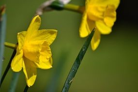 two yellow daffodils in the photo