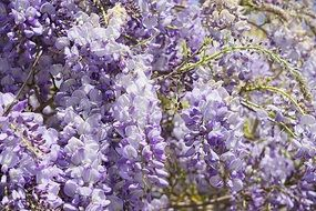 pale purple lush wisteria close-up