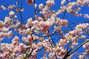 lushly blooming cherry against a bright blue sky