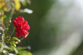 red rose with buds on a blurred background