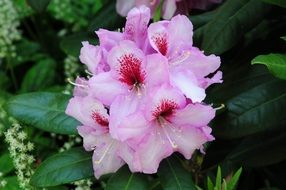 Pink rhododendron flower bloom