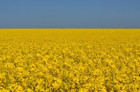field yellow rapeseeds