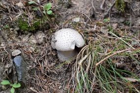 Picture of the white Mushroom in a forest
