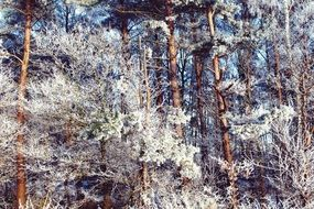 Forest Wintry Landscape