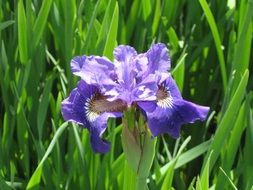 Iris, Purple Flower in front of green leaves
