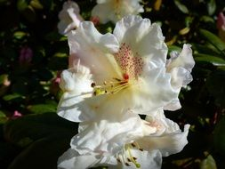 white rhododendron in spring
