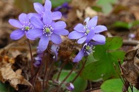 Hepatica is a spring plant