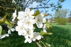 fruit tree in white flowering closeup