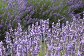 lavender flowers among green grass