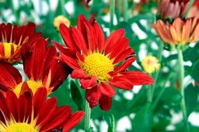 red chrysanthemums with yellow core close-up
