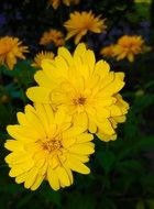 coreopsis or Parisian beauty close up