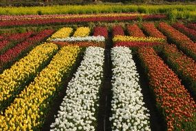 colorful tulip field view