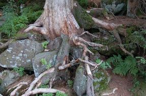 stones among the roots of a large tree