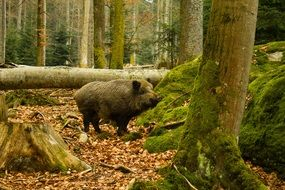 wild boar in the national park