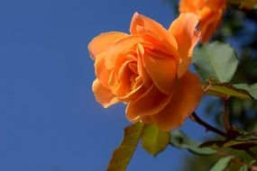 orange roses on a bush against a clear blue sky