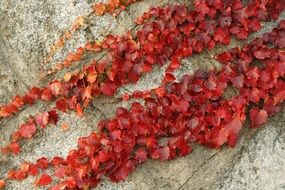 red Ivy Vine Autumn Leaves