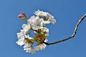 Japanese cherry in spring