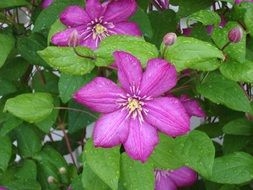 Purple Clematis Flowers in a botanical garden