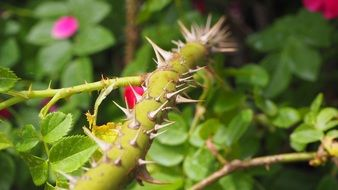 Thorns Stem