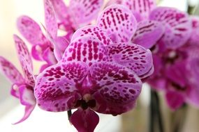 pink spotted orchid close-up