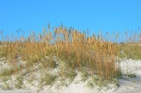 thickets of Sea Oats on Sand Dunes at sky