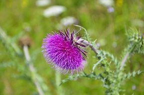 milk thistle on the meadow