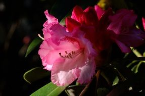 Closeup photo of Rhododendron Flower