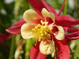 red and yellow Columbine Flower, macro