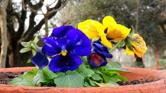 bright blue and yellow flowers in a large flower pot in the garden
