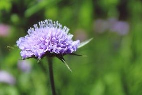 pincushion flower on blurry background close-up